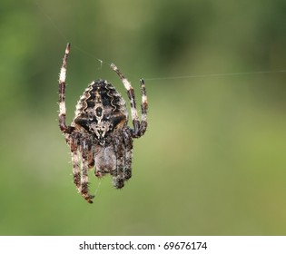 An Orb-weaver spider (Araneus angulatus) on its web.