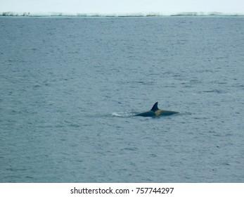 Orca in Antarctica