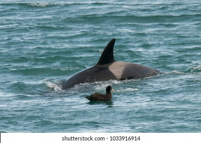Orca attacking sea lions, Patagonia Argentina