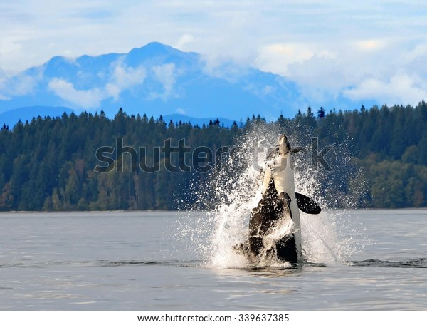 orca breaching  in discovery channel, near  campbell river,  british columbia,  with a captured  harbor porpoise in its mouth