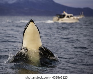 Orca calf spy hopping to have a look around at the whale watching boats. Northern Norway.
