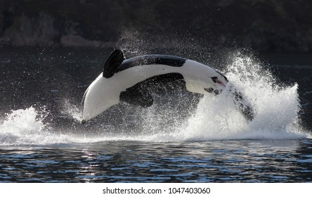 Orca jumping out of the water in Lofoten, Northern Norway