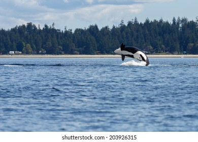 Orca jumps out of the sea at Lund Canada