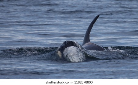Orca Killer Whale Breaking Surface of Water