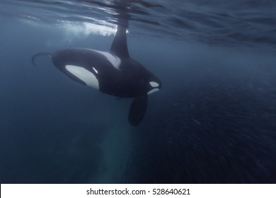 Orca, killer whale feeding on a bait ball of herring in the fjords outside of Andenes, Norway.