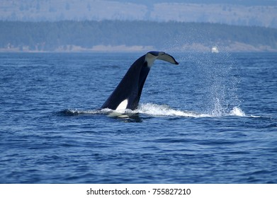 Orca (Killer Whale) feeding in San Juan Islands, Washington
