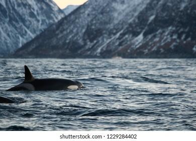 orca or killer whale, Orcinus orca, Andenes, Norway, Norwegian Sea, Atlantic Ocean