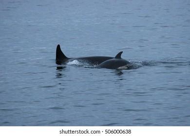 orca or killer whale, Orcinus orca in a fjord, Tromso, Norway, Atlantic Ocean