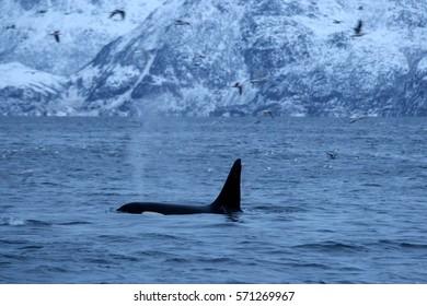 orca or killer whale, Orcinus orca in Kaldfjord, Tromso, Norway, Atlantic Ocean