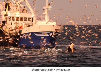 orca or killer whale, Orcinus orca, spyhopping in front of a fishing boat off Skjervoy, Norway, Atlantic Ocean