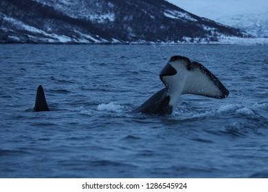 orca or killer whale, Orcinus orca, tail slapping off Skjervoy, Norway, Atlantic Ocean