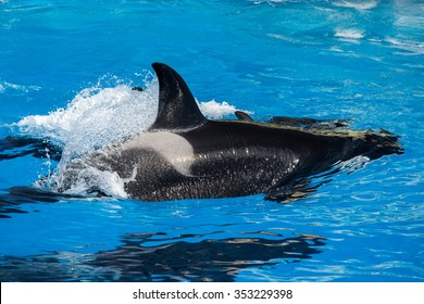 orca killer whale while swimming too you