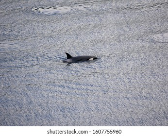 An orca - also known as a killer whale - swimming in the Salish Sea off the coast of Vancouver Island, Canada.