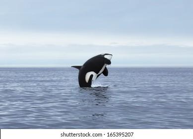 Orca making high jump, Kamchatka, Northwest Pacific