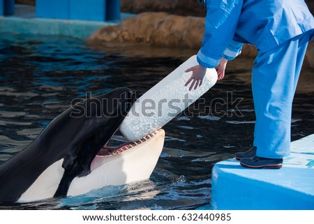 An orca named Earth freely interacts with a trainer at an aquarium in Nagoya, Japan, by handing them a toy in hopes of having it thrown.