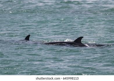 Orca Patagonia , Argentina