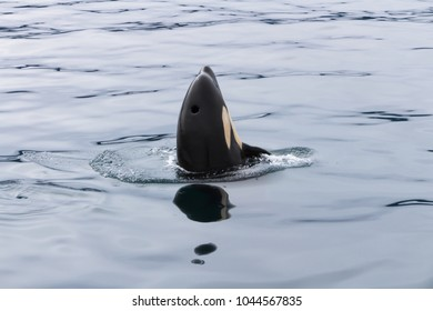 Orca playing in quiet and calm water, at sea of Okhotsk, near Japan Shiretoko, Rausu village