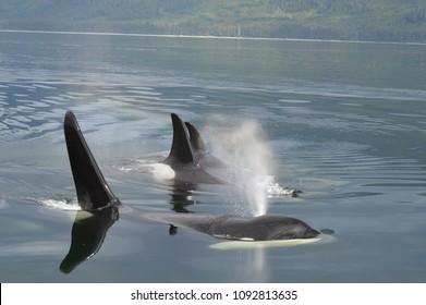Orca pod breath. Peril Straight, Alaska