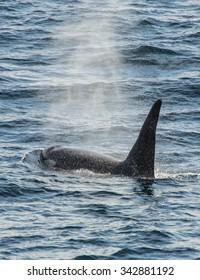 Orca, Russian Far East