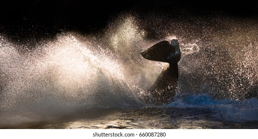 An orca splashes water, backlit against the setting sun.