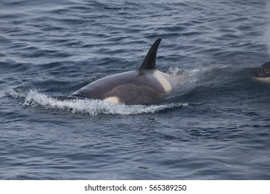 An Orca surfaces in Antarctica