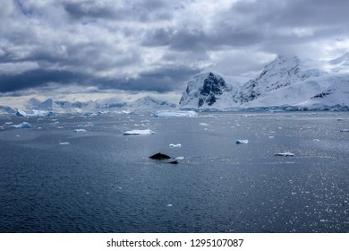 An orca swimming in Antarctic waters with  under cloudy skies