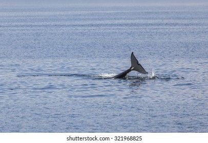 Orca tale above the water of Johnstone strait, Vancouver Island, British Columbia, Canada
