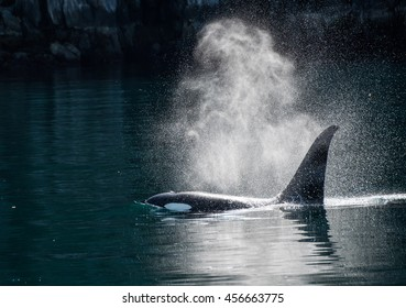 Orca whale exhales in the sunlight