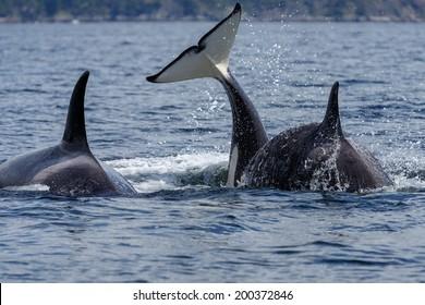 Orca whale or killer whale