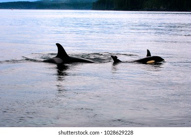 Orca Whales, mother and young swimming in together in the waters of Johnstone Strait, British Columbia Canada