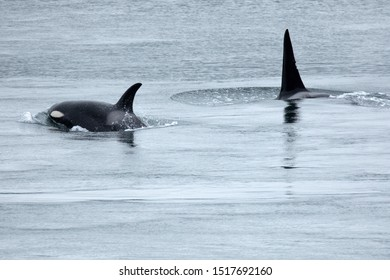 Orcas in Active Pass of the Salish Sea next to Galiano Island, Canada