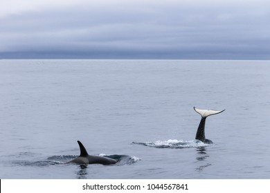 Orcas playing at sea of Okhotsk near Japan Shiretoko, Rausu village, horizon view