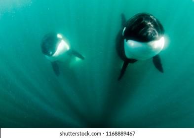 Orcas, Sea of Cortes. Mexico.