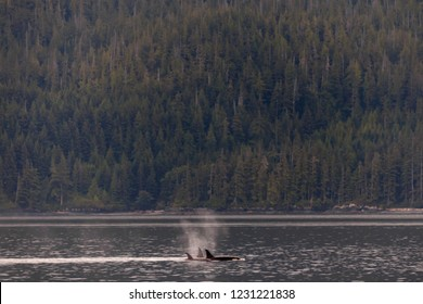 Orcas swimming and playing in the Johnstone Strait in British Columbia, Canada