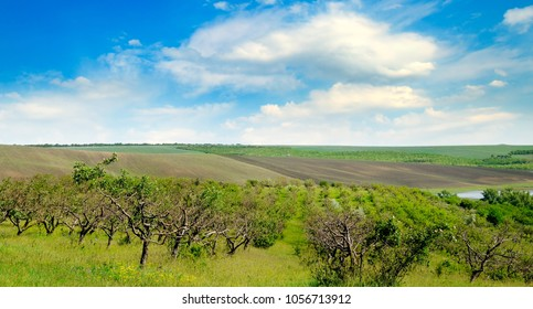 Orchard, agricultural land and blue cloudy sky. Wide photo.
