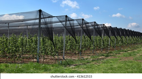 Orchard with anti-hail net
