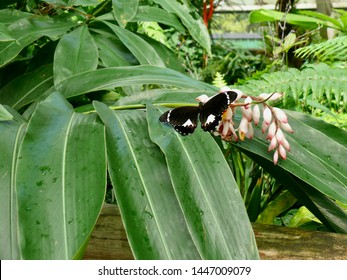 Orchard Butterfly Papilio aegeus Cairns Butterfly House