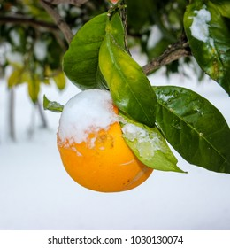 An orchard covered in snow, with an orange attached on a tree, with snow on top.