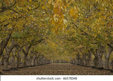 An orchard of English Walnut trees (Juglans regia) in fall color. California's Central Valley is where the Persian walnuts are grown commercially. Gridley, California.