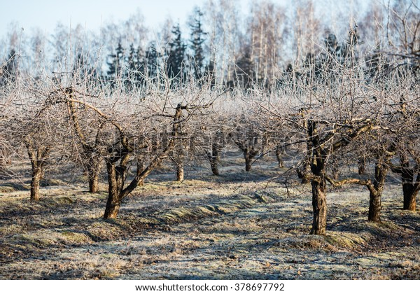 Orchard entrance in the winter, with hoarfrost covered trees
