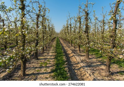 Orchard filled with flowering pear trees