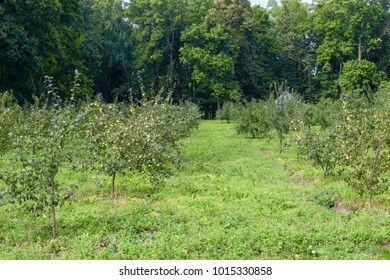 Orchard or garden of apple trees in the summer against the background of large trees