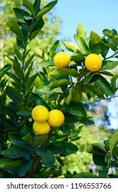 Orchard grove of lemon trees with bright citrus fruit growing on trees against a blue sky