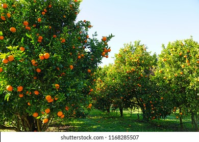 Orchard grove of mandarin trees with bright citrus fruit growing on trees against a blue sky