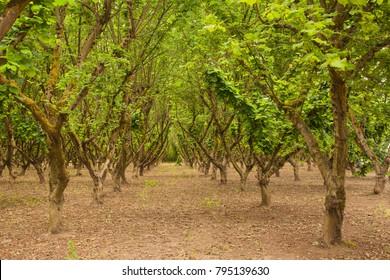 Orchard of Hazelnut (filbert) trees in the Willamette Valley, near Salem, Oregon