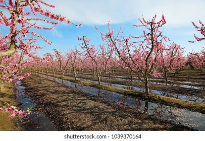 Orchard irrigation - Blossom Trail, Fresno county, California