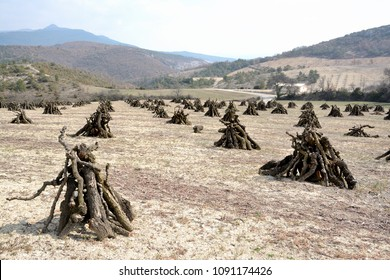 Orchard looking like an Indian camp, with its fruit trees cutted, the branches are stacked in pyramid form, similar to tippis. Landscape with mountains, fields, forest and meadow. Early in the spring.
