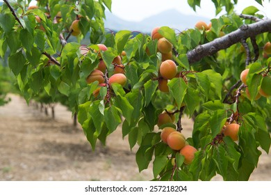 Orchard with many ripe peaches