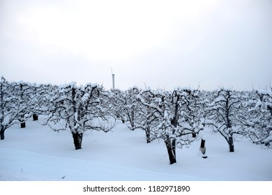 An orchard near Hood River, Oregon, in winter.