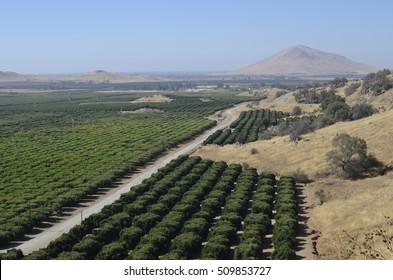 Orchard with orange tree rows in California, near Fresno